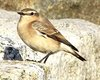 Thumb_092116_n._wheatear_9-20-2016_8-16-055